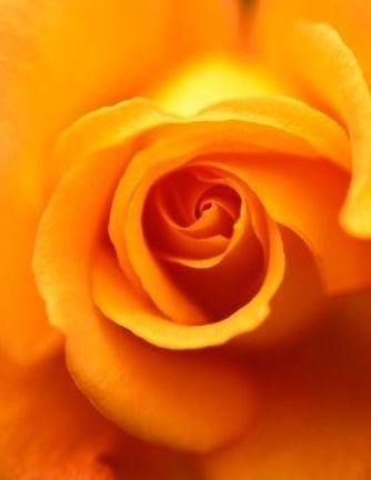 La rose jaune symbole de la trahison amoureuse